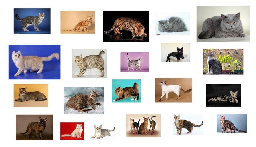 Породы кошек по алфавиту в картинках