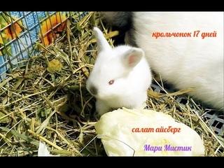 КРОЛЬЧАТАМ 17 дней - 26/04/ 2021 кушают САЛАТ Айсберг / Калифорнийский кролик / Детки Мишель и Ромео