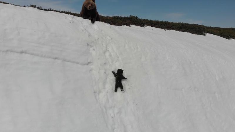 Спасение медвежонка на скальном обрыве. Bear cub and drone. Full version of the original video