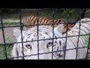 Раджа - жадина на говядину Привет тигру! Тайган. Raja - greedy for beef Hello tiger! Taigan.