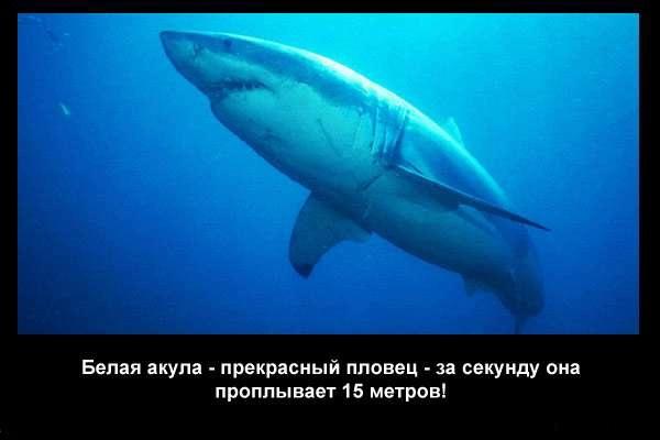 валтея - Интересные факты о акулах / Хищники морей.(Видео. Фото) DmkroEjxrE4