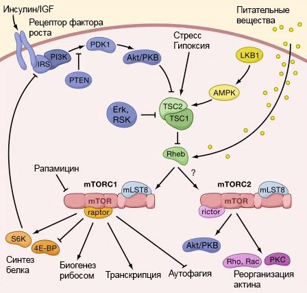 Рисунок 2. Взаимосвязь IIS- и mTOR-сигнальных путей. Сигнал от инсулинового рецептора (он же рецептор фактора роста) распространяется по клетке и активирует белок mTOR, что приводит к сборке двух функциональных комплексов: mTORC1 и mTORC2. В свою очередь комплекс mTORC1 может ингибировать субстрат инсулинового рецептора (insulin receptor substrate, IRS). mTOR также активируется аминокислотами, поэтому высокая концентрация аминокислот в крови снижает чувствительность клеток к инсулину. Источник: For mTOR, Clarification and Confusion
