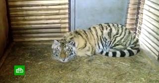 Приморские зоологи выясняют, почему у дикого тигренка слишком спокойный нрав