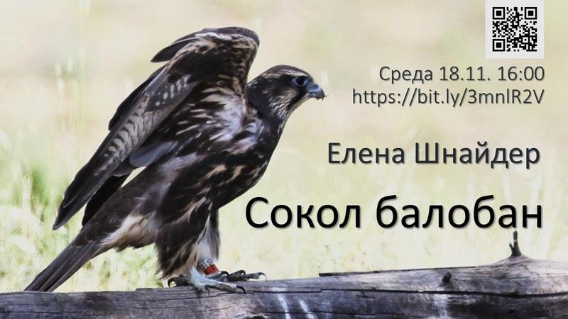 Елена Шнайдер Сокол балобан популяционная биология и охрана