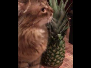 Кот и ананас