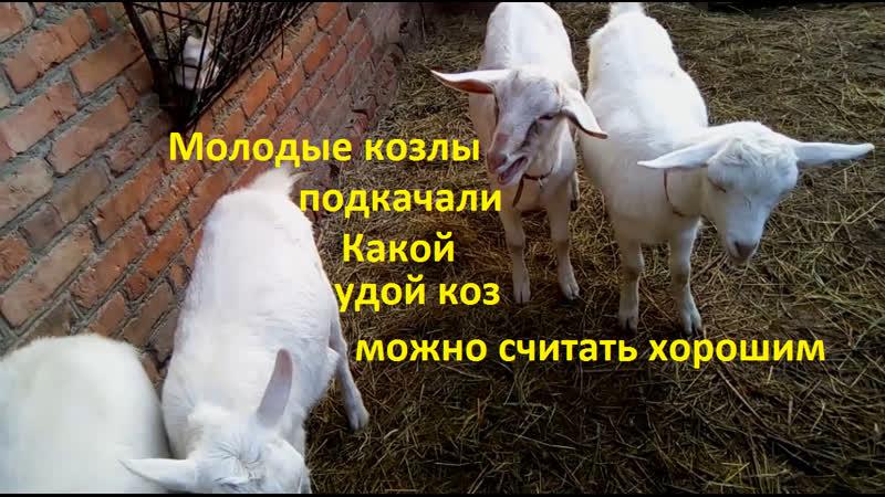 Молодые козлы подкачали. Какой удой коз считать хорошим.