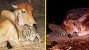 Леопард навещает эту корову каждую ночь. Через несколько дней ее хозяин решил проследить за ними