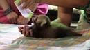 Baby Red Panda Feeding