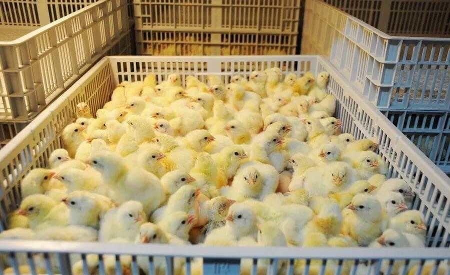 С птицефабрики в Брянской области украли 400 цыплят-бройлеров