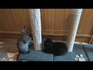 Шотландские котята по 1000 руб Казань
