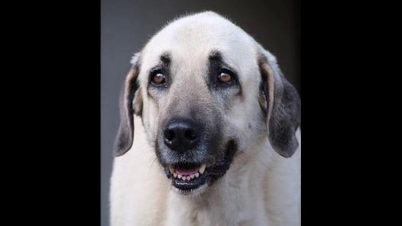 Kangal turco razas de perros