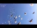 Николаевские голуби Калмыкии
