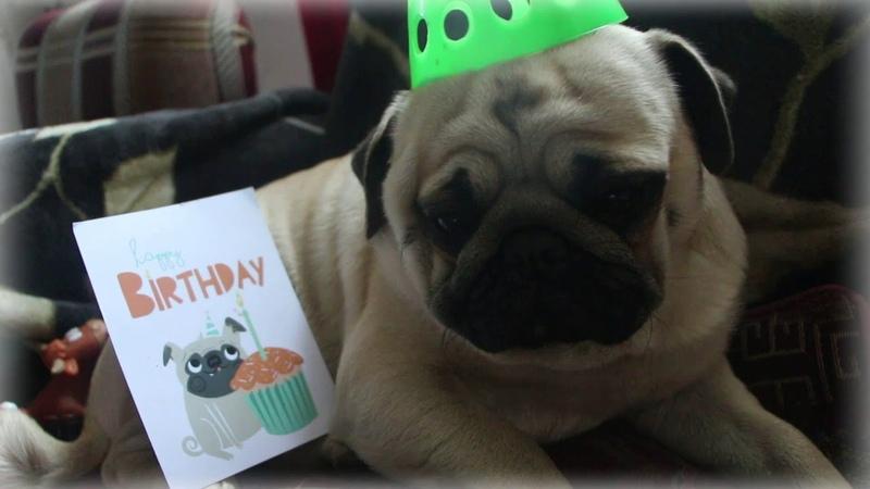 День Рождения мопса Арни Pug Arnie's Birthday деньрождения мопс pug торт УМА