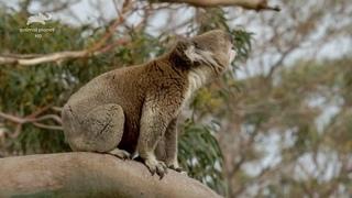 «Дикая Австралия» (2 часть) (Познавательный, природа, животные, 2015)