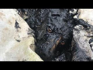 Собаки тоже плачут. Почему живодёры уходят от наказания? Собака выла от боли и страха ..