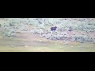 Мама-медведица защищает детёнышей от стаи волков.