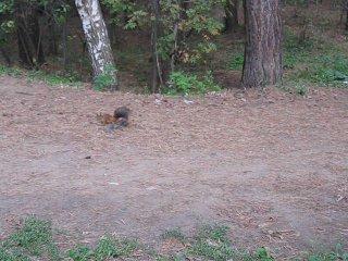 Белки в нашем лесу = Осень