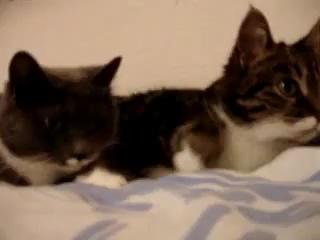 Кошачий разговор - уписиться можно