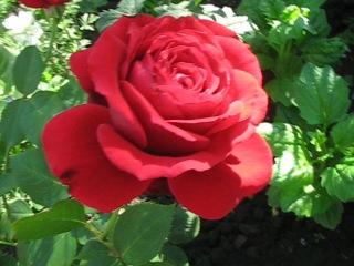 Красная,пахучая,пышная роза :)