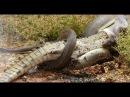 Нападения Диких Животных 1 Самое Удивительное видео сумасшедших Животных Бои Пойманы На Камеру