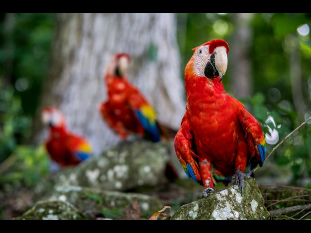 Birding Photography using the Sony A6300 shooting the Macaws in ancient Copan Honduras