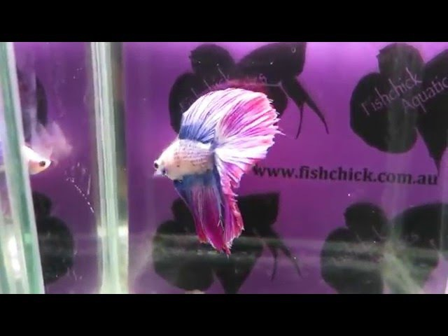 Fishchick Auctions Purple Tapestry Doubletail Halfmoon Male (newlisting)