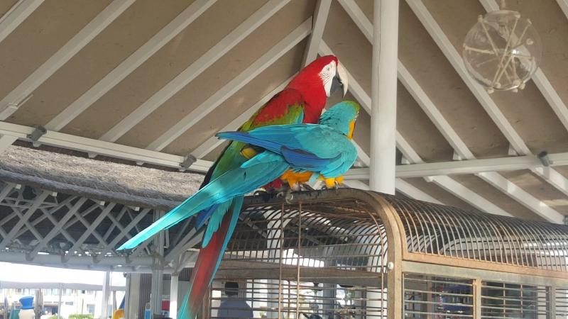 Красный попугай пытается оторвать голову синему The red parrot tries to tear off the head of the blue one Gouves Heraklion