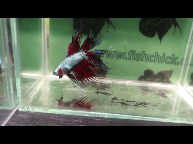Fishchick Auctions Dragons Mane Doubletail Crowntail Male Betta (newlisting)