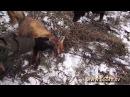 Охота на лис с норными собаками. Часть 5. С Олегом Терентьевым.