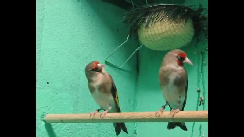 Седоголовые щеглы самка слева и самец справа