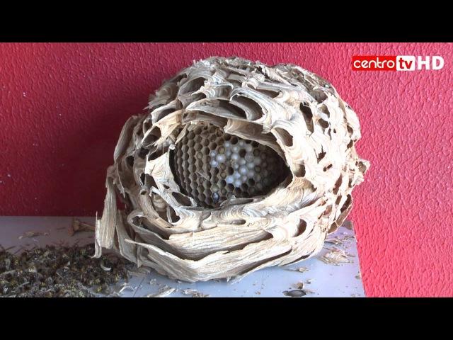 Лживые дебилы с Телевидения , говорят про Азиатский вид шершня - Vespa velutina , а показывают шершней Обыкнове