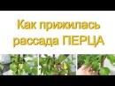 ПЕРЕЦ как прижился в открытом грунте Выращивание перца 4