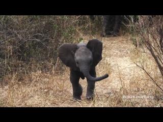 Маленький слоненок защищает маму от операторов :)))