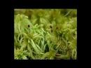 Отдел моховидные Разнообразие моховидных Класс мхи