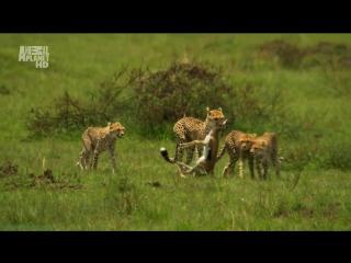«Королевы саванны (3). Искусство быть матерью» (Документальный, природа, животные, 2009)