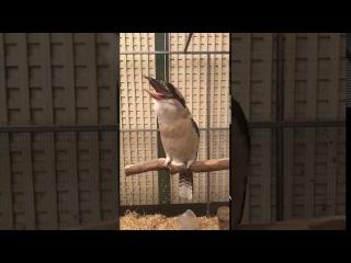 Кукабара — птица, которая смеется как злодеи из фильмов ужасов