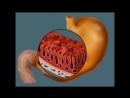 травлення у шлунку