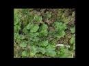 Отдел моховидные Разнообразие моховидных Класс печеночники