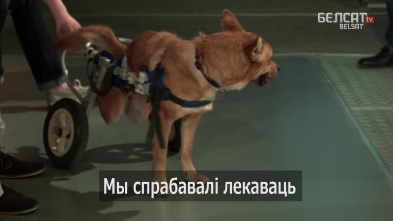Сабака Лёва, з інвалідным вазком, прыняў удзел у ток-шоу
