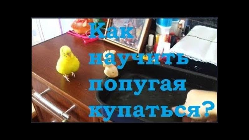 Как научить попугая купаться Как искупать волнистого попугая Приветы от попугая Чики ❤