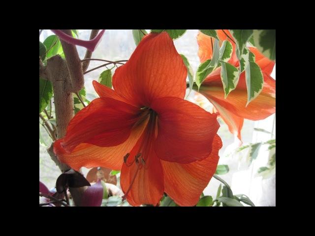 ГИППЕАСТРУМ Выводим из покоя для зимне весеннего цветения Пересаживаем для активного роста