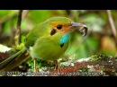 Blue throated Motmot Синегорлый момот Aspatha gularis