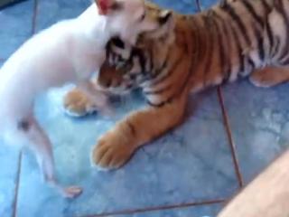 Tiger cub playing with a dog ii (tigrinho brincando com cão)