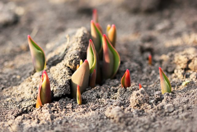 Тюльпаны показали первые ростки? Пора их подкормить!, изображение №2
