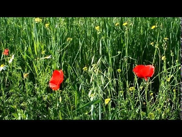 Весна в Испании алые маки полевые цветы красивая природа и музыка 28 04 2018