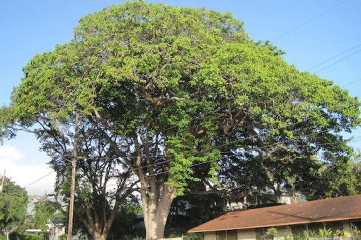Опасные для жизни деревья, изображение №7