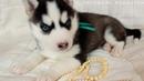 Предлагаем чёрно-белую девочку щенка хаски, родилась 27 января 2019 года