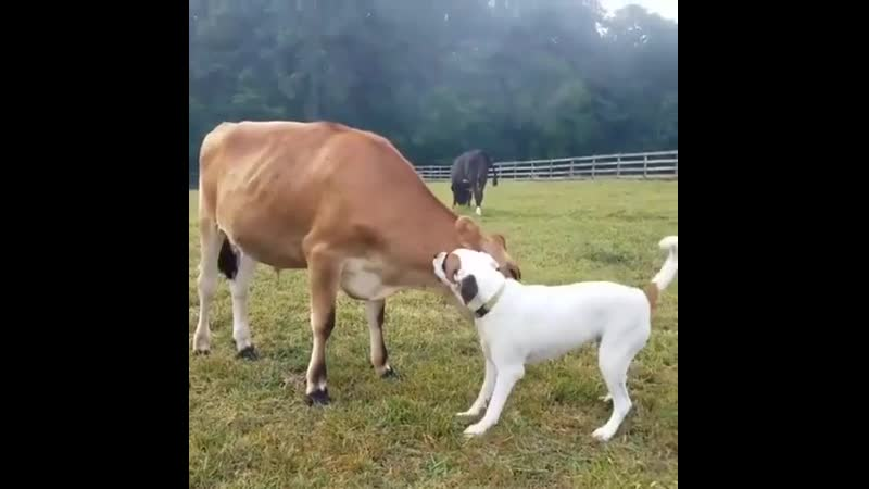 Cows have similar emotional range as dogs. They display boldness, shyness, fearfulness and even playfulness.
