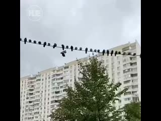 В Одинцове птицы оккупировали все провода