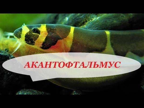 Акантофтальмус Кюля в аквариуме Содержание размножение уход и чем кормить